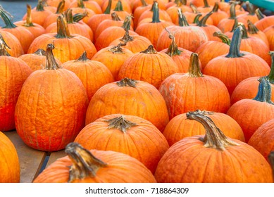 Pumpkin Harvest in Southern New Jersey ahead of the Halloween holiday.