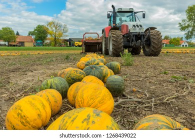 Pumpkin harvester in autumn