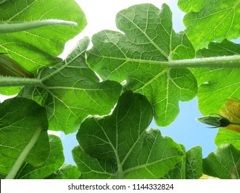 The pumpkin leaves spread out toward the sky and are using chlorophyll to perform photosynthesis. A number of leaves are covering the sky.