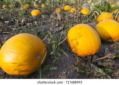 Pumpkin on field for Halloween holiday