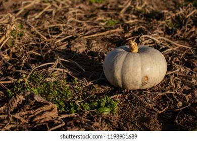 Pumpkin on the fields in evening sun