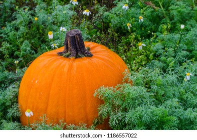 Pumpkin in outdoor pumpkin patch. Seasonal image of vivid ripe orange pumpkin, ready to carve or cook. Celebrate Autumn Fall Season Holiday, Halloween, Thanksgiving or Harvest Festival.