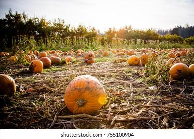 Pumpkin Patch, Canada