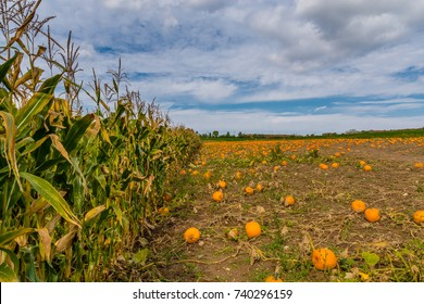 Pumpkin Patch with Corn field and blue sky