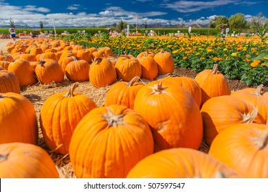 Pumpkin patch in a field of straw. Background for fall, autumn, Halloween, Thanksgiving, seasonal display. Holiday-themed image.