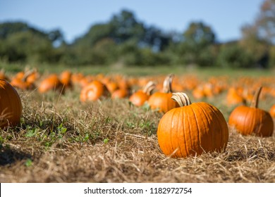 pumpkin patch. fresh orange pumpkins on a farm field. Rural landscape. Copy space for your text. Blurred background