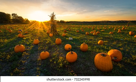 Pumpkin patch on a late afternoon in early autumn