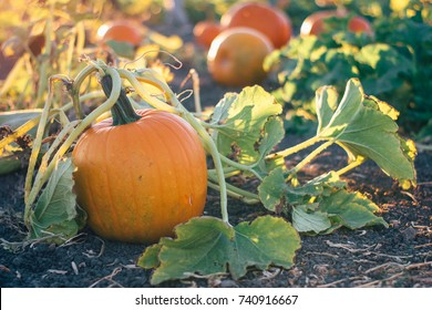 Pumpkin in a pumpkin patch on the vine during golden hour evening light.