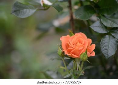 Pumpkin Patch Rose