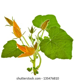 pumpkin plant with flower decor  isolated on white background