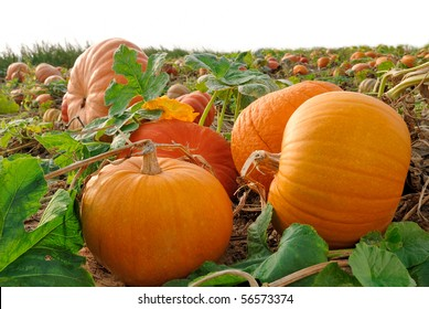 Pumpkin plants with rich harvest on a field