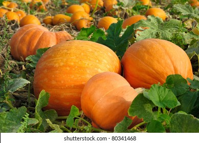 Pumpkin plants with rich harvest on a field ready to be harvested