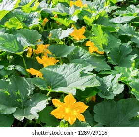 Pumpkin, Squash plant.  Squash, courgette, pumpkin, vegetable marrow yellow flower with green leaves blossoming in the garden. Vegetable as a food background texture.