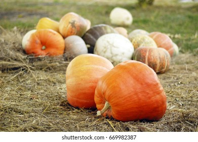 a lot of pumpkin in the straw