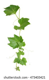 Pumpkin vine with green leaves and tendrils isolated on white background, clipping path included