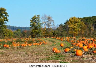 Pumpking field at New England