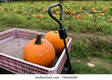 Pumpking picking for thanksgiving day upstate New York at the farm