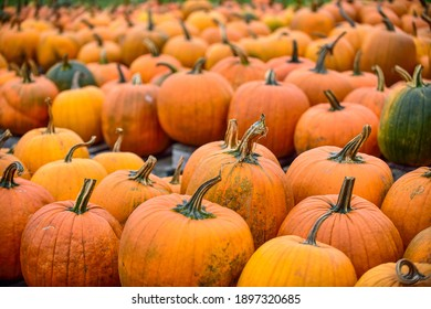 Pumpkins in the field during harvest time in fall