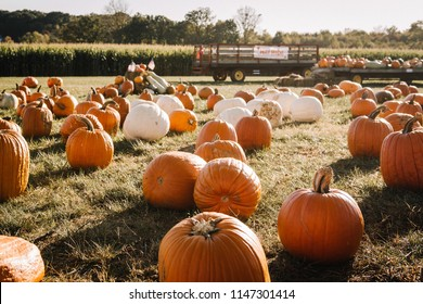 Pumpkins in a field in front of a corn maze and hay ride.