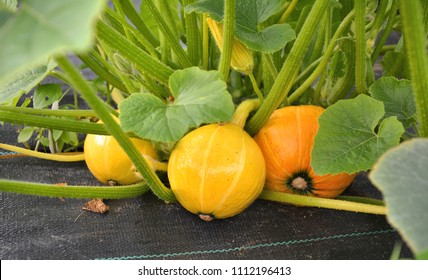 Pumpkins growing in the garden on agrofabric