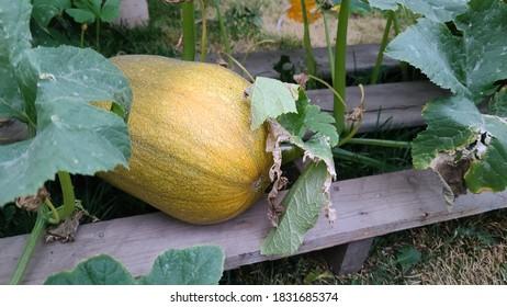 Pumpkins growing in the pumpkin patch.