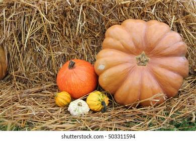 Pumpkins. Pumpkin's harvest. Pumpkin family