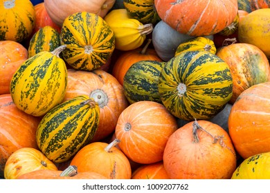 Pumpkins are just torn from the field