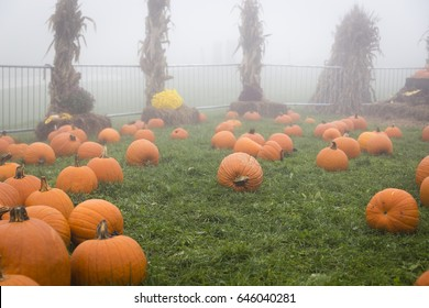 Pumpkins laying in grass area surrounded by fence