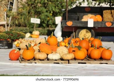 pumpkins on fall day farm