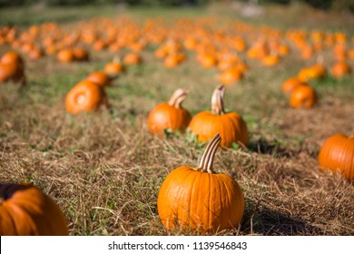 Pumpkins on the farm. pumpkin patch. Blurred background. copy space for your text