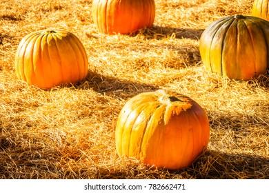 A lot of Pumpkins on field - Vintage Filter