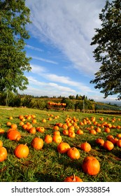 Pumpkins out in a farm grassy area available for sale to the public with rolling hills and orchards in the background with a bright blue sky.