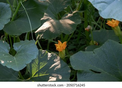 Pumpkins plant blooming in a vegetable garden