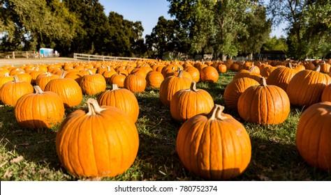 pumpkins at pumpkin patch