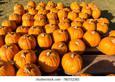 pumpkins at pumpkin patch