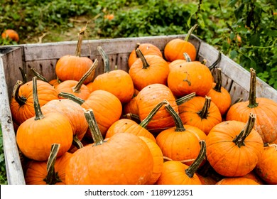 Pumpkins in a pumpkin patch on a farm