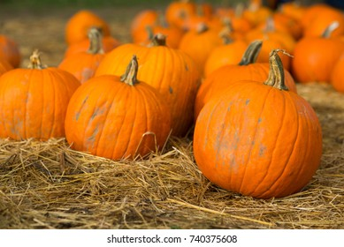 Pumpkins scattered on dried grass