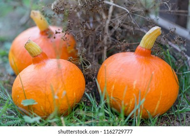 Pumpkins as a symbol of Thanksgiving