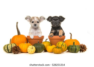 Pumpkins and two flower pots with two chihuahua puppy dogs in it on a white background