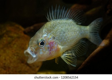 The pumpkinseed = Common Sunfish (Lepomis gibbosus) is a North American freshwater fish. It is also referred to as pond perch, common sunfish, punkys, sunfish, sunny, and kivver.