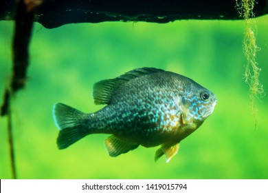The pumpkinseed (Lepomis gibbosus)  North American freshwater fish of the sunfish family (Centrarchidae) of order Perciformes.