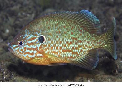 Pumpkinseed sunfish (Leppomis gibbosus) swimming in european freshwater lake