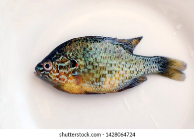 A pumpkinseed sunfish on a white plate. Lepomis gibbosus, a freshwater fish living in warm lakes.