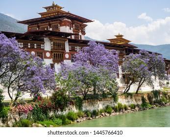 Punakha, Bhutan - May 14 2019: jacaranda trees blooming outside Punakha Dzong