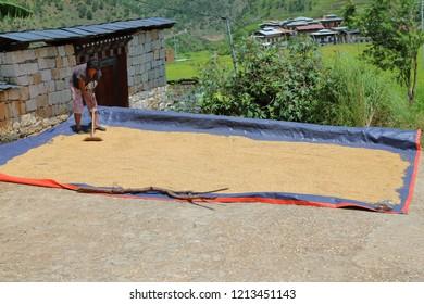 Punakha/Bhutan - 21 Aug 2018: A female farmer spreading out the newly harvested rice grains on the floor under the hot sun for them to dry, in the fertile Punakha Valley of Bhutan