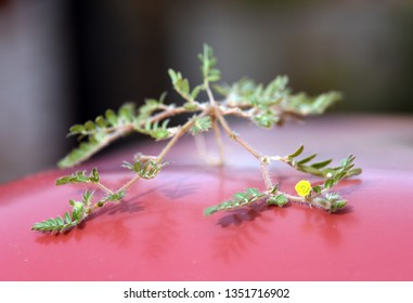 Puncturevine plant (tribulus terrestris) with yellow flower