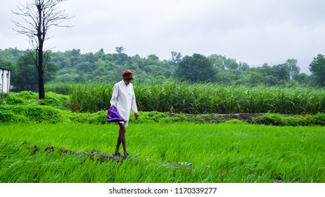 PUNE, MAHARASHTRA, INDIA- AUGUST 2018: An old farmer in the green paddy fields near Lonavala during the monsoon season.