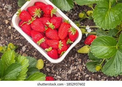 punnet with fresh ripe strawberries and strawberry plants growing in organic garden