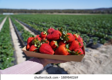 Punnet of strawberries being held with a background of strawberry fields