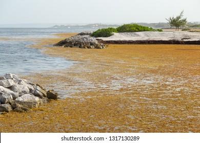 Punta Cana, Dominican Republic - August 12, 2018: Beach full of sargassum algae. Sargassum seaweeds on ocean beach in Cap Cana Resort